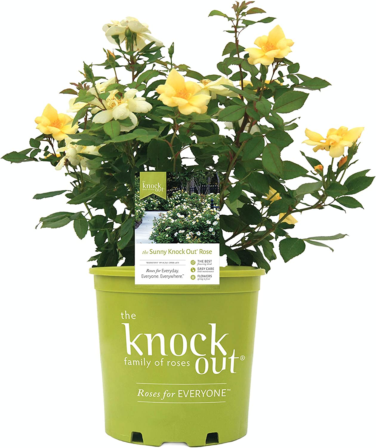 Star Max 84% Genuine OFF Roses Knockout Series 11892 Rose Sunny Gallon 3