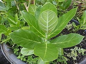 Details About Calotropis Gigantea - Giant Milkweed - 1 Live Plant - 6