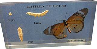 Ajax Scientific Butterfly Life Cycle Specimen, 12cm Length x 6cm Width x 2cm Height