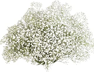 GlobalRose 120 Stems of Fresh Cut Gypso Perfecta Fillers - Baby's Breath Fillers - Fresh Flowers Wholesale Express Delivery