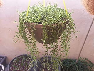 Live String of Bananas - Senecio radicans Plant fit 6'' Pot Hanging Succulents