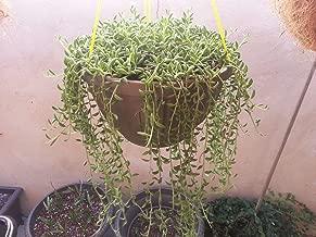 Live String of Bananas - Senecio radicans Plant fit 6'' Pot Hanging Succulents