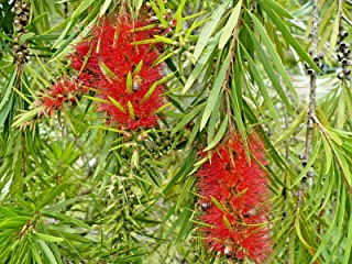 thronesfarm 15 Swamp BOTTLEBRUSH Seed PODS - Callistemon speciosus