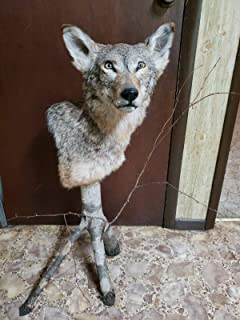 TruBlu Supply Real Coyote Taxidermy Half Mount on Real Tree Branch Tripod with Twigs Custom Made (1 of a Kind)