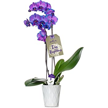 Orchid Flower Plant, Purple Double Spike in 5-Inch White Ceramic Container, From Hallmark Flowers