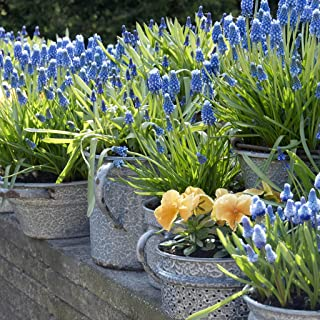 grape hyacinth bulbs sale