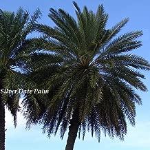 phoenix sylvestris palm tree