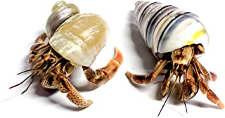 Best big crabs for sale Reviews