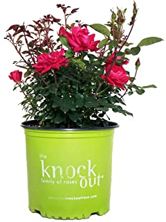 Best double knockout roses for sale Reviews