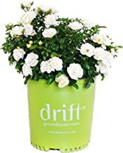 Best growing drift roses in containers Reviews