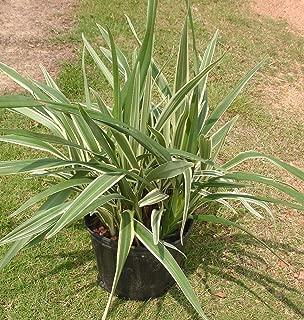 Best tasmanian flax lily Reviews