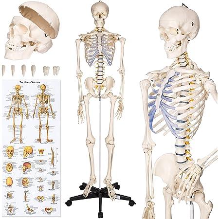 Menschliches Fuß Skelett Lebensgroß Anatomie Modell Lehrmodell mit Ständer