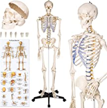 tectake 400502 Anatomie Skelett lebensgroß inklusive Ständer (Skelett | Nr. 400502)