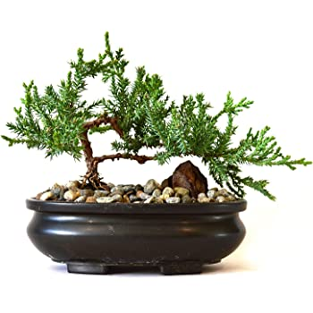 Amazon Com 9greenbox Best Gift Bonsai Juniper Tree 4 Pound Live Indoor Bonsai Plants Grocery Gourmet Food