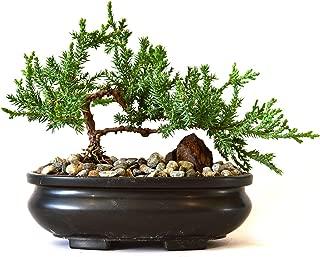 9GreenBox - Juniper Tree Bonsai with Bonsai Pot