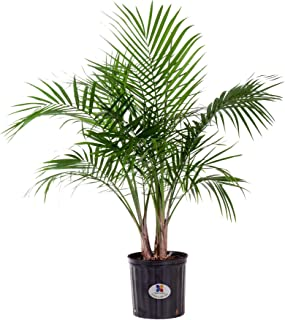 United Nursery Majesty Palm Tree, Live Indoor and Outdoor Plant 28-36