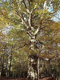 Fagus americana syn grandifolia AMERICAN BEECH TREE Seeds!
