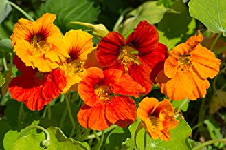 Sweet Yards Seed Co. Nasturtium Seeds – Mixed Colors – Extra Large Packet – Over 200 Open Pollinated Non-GMO Flower Seeds ...