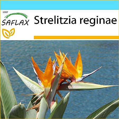 - 7 graines- Afrique blanc Oiseau du Paradis TROPICA Strelitzia alba