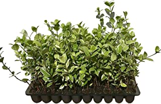 Confederate Jasmine Variegated - 20 Live Plants - Trachelospermum Jasminoides Variegatum - Fragrant Blooming Evergreen Vine