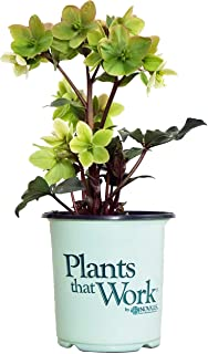 Plants That Work - Helleborus 'Champion' (Lenten Rose) Perennial, white flowers, 8`` - Size Container