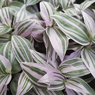 HIGH Germination Seeds:1 Rooted Tradescantia Fluminensis House Plant ering Jew Tricolor Rare Color