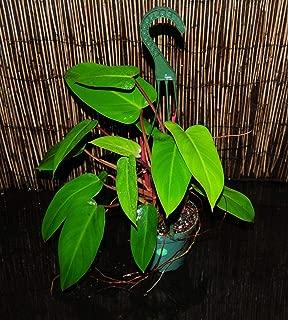 Rare Philodendron 'RED Emerald' 5.5
