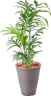 テーブルヤシ 4号 陶器 鉢植え 観葉植物 インテリア グリーン