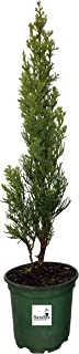 Best italian evergreen trees Reviews