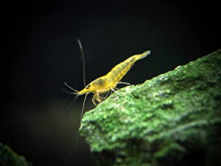 Aquatic Arts 5 Live Freshwater Neon Yellow Shrimp (Neocaridina davidi - 1/2 to 1 Inch Long)