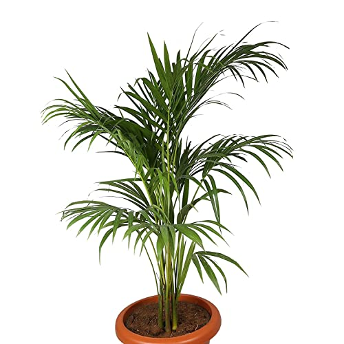 428a5fad0 Areca Palm Plant: Buy Areca Palm Plant Online at Best Prices in ...