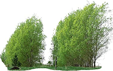26 Hybrid Willow Trees - Quick to Plant - Fast Growing Shade Tree - 26 Indoor/Outdoor Live Tree Plant