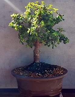 Best baby jade bonsai care Reviews