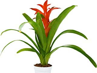 Guzmania Bromeliad 'Red' - Live House Plant - 1FT Tall - FREE Care Guide - 4