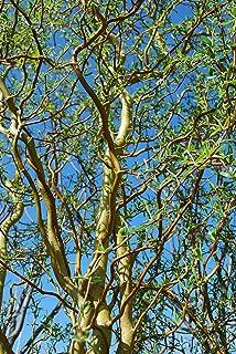 5 Scarlet Curly Willow Cuttings Salix matsudana x S. alba Scarlet Curls 7