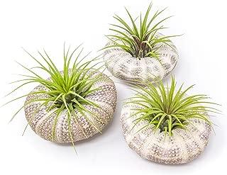 Best sea urchin succulent plant Reviews