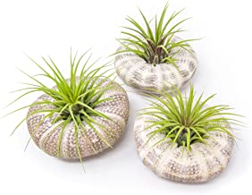 Air Plant Sea Urchin Kit (4 Pack, Large) Natural Shell Containers / Holder for Live Tillandsia Jellyfish Stand / Indoor Home Decor by Plants for Pets