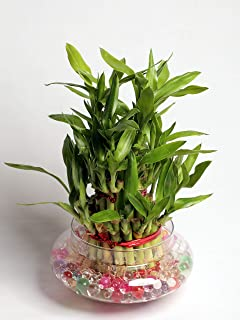 Nurturing Green Lucky Bamboo (Large:3 Layer Bamboo, Glass Pot)