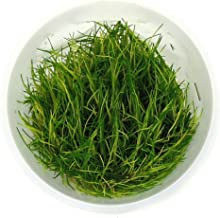 SubstrateSource Eleocharis sp. Dwarf Hairgrass Live Aquarium Plant - Tissue Culture Cup