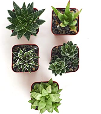 """Shop Succulents   Alluring Collection of Live, Hand Selected Variety Pack of Mini 5 Different Aloe Plants in 2"""" Grower Po"""