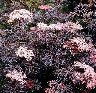 Black Lace Elderberry - Sambucus - New - Hardy - Proven Winners - 4