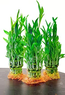 9GreenBox Top Quality Lucky Bamboo for Feng Shui, 5 Pound (Pack of 3)