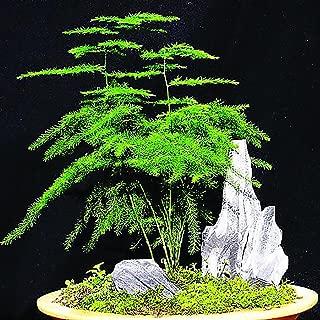 Yvetti 8Pcs Asparagus Fern Seeds Beautiful Easy to Grow Home Landscape Ornaments DIY Bonsai Decor Garden Courtyard Home Office