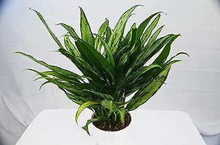 Chinese Evergreen 'Cutlass' - 6