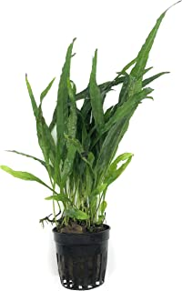 SubstrateSource Microsorum Pteropus Java Fern Narrow Leaf Live Aquarium Plant