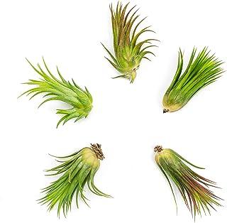 Tillandsia Ionantha Air Plants (5 Pack) | 2 to 3.5 Inches Each | Large Live House Plants for Home Decor | Air Plant Holder or Air Plant Hanger | Indoor Plants for Terrarium Kit by Aquatic Arts