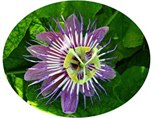 FOETIDA Passion Passiflora Vine Live Plant Lace Bud Purple Blue Flowers Shade Garden Attract Butterflies