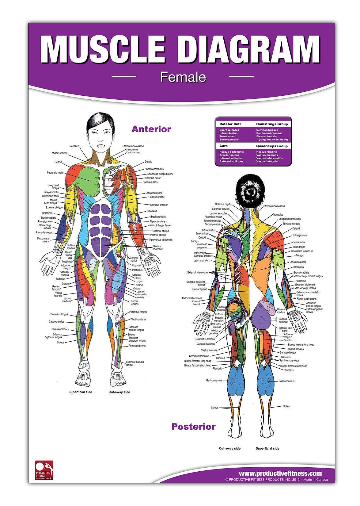 Female Muscle Diagram Andre Potvin