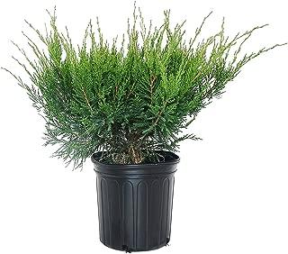 Juniperus chinensis 'Sea Green' (Chinese Juniper) Evergreen, #3 - Size Container