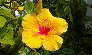 Hawaiian Exotic Flower Plant Roots - Bamboo Orchids - Hibiscus - Ginger -Ti Logs (Yellow Hibiscus)